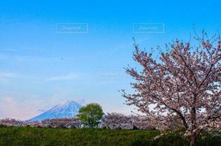自然,風景,空,春,桜,富士山,屋外,ピンク,花見,景色,樹木,草木,スプリング,日中