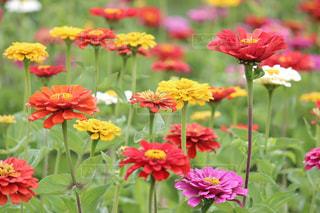 花畑,屋外,カラフル,花見,景色,鮮やか,flower,百日草,日中