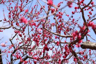 梅の花の写真・画像素材[1810740]