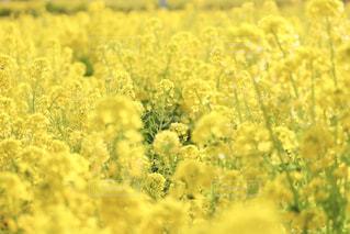 菜の花畑の1本の菜の花の写真・画像素材[1867304]
