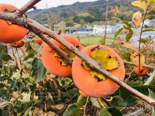 秋,果物,和歌山,柿