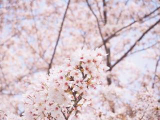 花,春,桜,お花見,ライフスタイル
