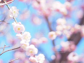 花,春,桜,屋外,青空,花見,お花見,昼,ライフスタイル