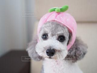 イチゴ犬の写真・画像素材[1813816]