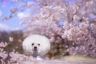 桜とわたあめプードルの写真・画像素材[2003589]