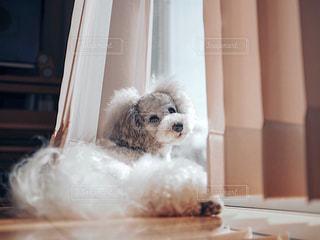窓辺のトイプードルの写真・画像素材[2170591]
