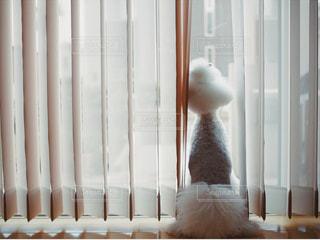 窓から外を眺めるトイプードルの写真・画像素材[2170618]