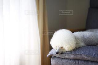 お昼寝するトイプードルの写真・画像素材[2172480]
