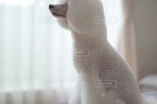 ホワイトプードルの写真・画像素材[2280666]