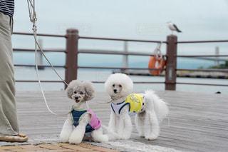 愛犬とお散歩の写真・画像素材[2300599]