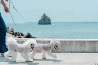海岸をお散歩するトイプードルの写真・画像素材[2328505]