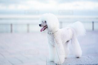 雪の中のホッキョクグマの写真・画像素材[2363004]