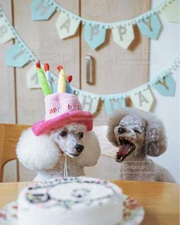 お誕生日のトイプードルの写真・画像素材[2481589]