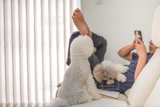 カーテンの前に座っている犬の写真・画像素材[2496481]