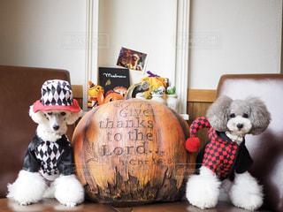 ハロウィンのかぼちゃと仮装したトイプードルの写真・画像素材[2499107]