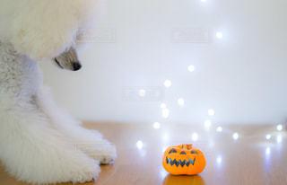 かぼちゃを見つめる犬の写真・画像素材[2507424]