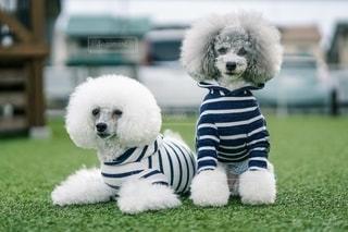 草の中に座っている小さな白い犬の写真・画像素材[2701151]