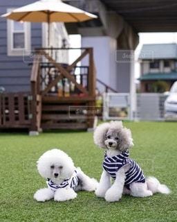 草の中に座っている小さな白い犬の写真・画像素材[2701155]