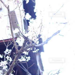 ふと見上げたら満開の桜の写真・画像素材[3063050]