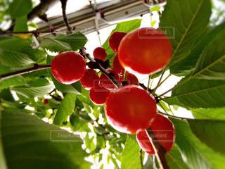 食べ物,緑,赤,フルーツ,果物,さくらんぼ,果実,食材,さくらんぼ狩り,山形県