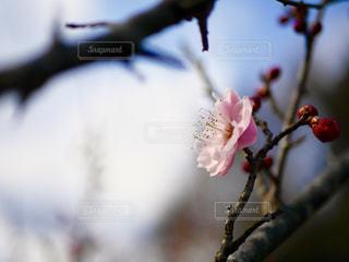 梅の花の写真・画像素材[1818936]