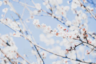 自然,風景,空,花,春,木,屋外,梅,青空,枝,花見,草花,お花見,ピクニック,ライフスタイル,梅の花,3月,フォトジェニック