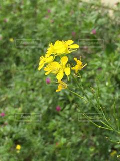 花,散歩,菜の花