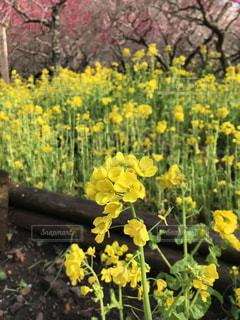 自然,花,春,ピンク,植物,梅,黄色,菜の花,樹木,梅の木,草木