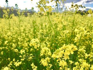 自然,花,春,花畑,屋外,植物,黄色,菜の花,景色,草木,ワイルドフラワー