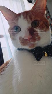 口を開けてオレンジと白の猫の写真・画像素材[2506527]