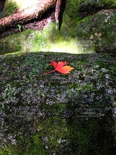 緑の葉を持つ赤い花の写真・画像素材[2515668]