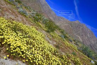 砂漠に広がる黄色のお花畑と山の写真・画像素材[1866704]