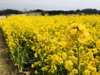 自然,空,花,春,お花畑,植物,黄色,菜の花,景色,イエロー,淡路島,カラー,色,黄,草木,yellow,多彩