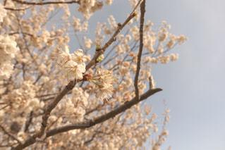自然,空,公園,花,春,桜,屋外,青空,散歩,夕方,花見,レトロ,お花見,ライフスタイル,さくら
