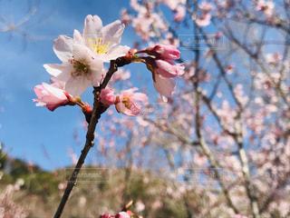 自然,公園,花,春,桜,屋外,花見,お花見,ライフスタイル,さくら