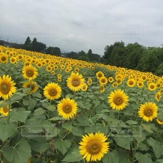 自然,風景,空,花,黄色,鮮やか,向日葵,たくさん,カラー,草木