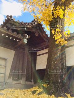 冬,屋外,黄色,落ち葉,樹木,旅行,銀杏,日本,イエロー,和風