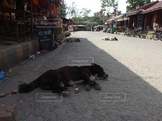 犬,動物,街並み,アジア,寝転ぶ,子犬,海外旅行,ネパール,ワンコ