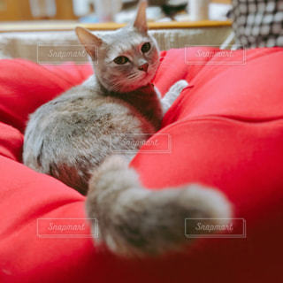 赤い毛布をかぶった猫の写真・画像素材[2320005]