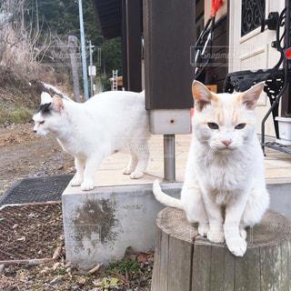 白い壁の上に座っている猫の写真・画像素材[2320015]