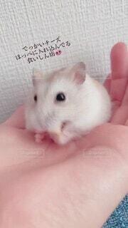 猫,動物,ハムスター,屋内,かわいい,ペット,人物,人,小さい,チーズ,可愛い,ミニ,ご飯,ラット,マウス,ネズミ,ウサギ
