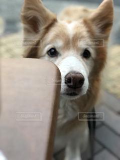 家族,犬,動物,屋外,白,テラス,テーブル,宝物,可愛い,おばあちゃん,ベージュ,愛犬,お散歩,見つめる,ボーダーコリー,日中,ミルクティー色