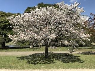 公園の桜の木の写真・画像素材[1811216]