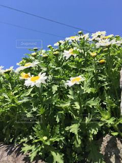 空,花,屋外,青,散歩,黄色,黄,草木,春の兆し,yellow,スノーポール
