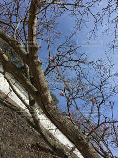 空,桜,屋外,白,城,花見,樹木,蕾,草木,城壁