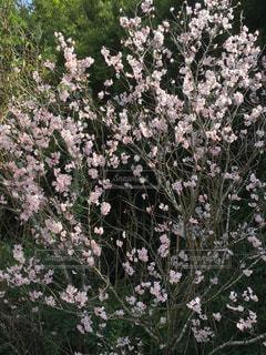 風景,花,春,屋外,ピンク,綺麗,景色,樹木,成長,草木