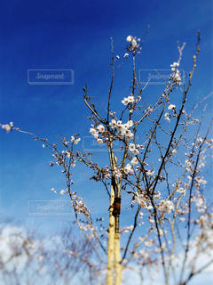 空,公園,花,春,桜,花見,サクラ,樹木,ライフスタイル,訪れ