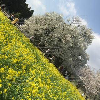 春,黄色,お花,阿蘇,カラー,yellow,桜より主役