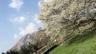 春,桜,サクラ,お花見,阿蘇,チェリーブロッサム,一心木の桜