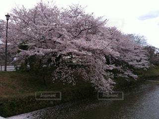 春,桜,サクラ,お花見,福岡,チェリーブロッサム
